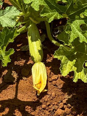 Yellow flower of zucchini in the summer garden 免版税图像