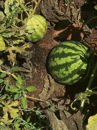 Unripe young watermelon plants in a vegetable garden