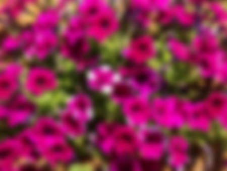 Blurred summer background with purple petunia flowers