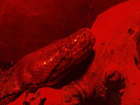 Boa constrictor snake in red glass serpentarium 版權商用圖片