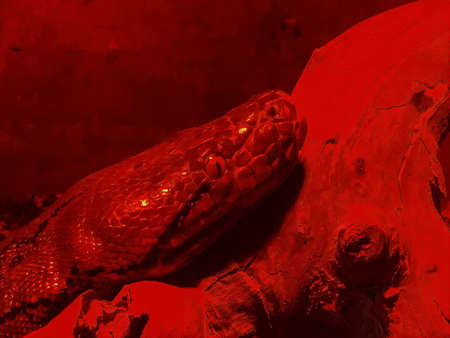Boa constrictor snake in red glass serpentarium