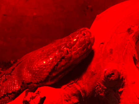 Boa constrictor snake in red glass serpentarium