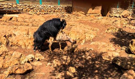 Goat copulation scene Standard-Bild