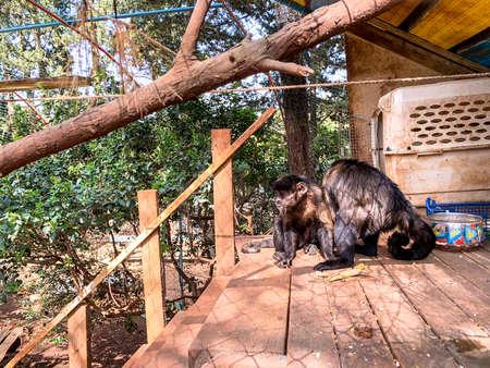 Capuchin monkey at aviary in the shade of trees.