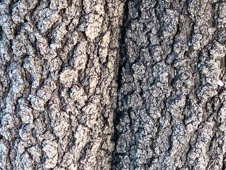 A vertical crack in the bark of an old deciduous tree texture background 版權商用圖片