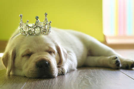 Little white labrador puppy with beautiful crown is sleeping on the parquet floor photo