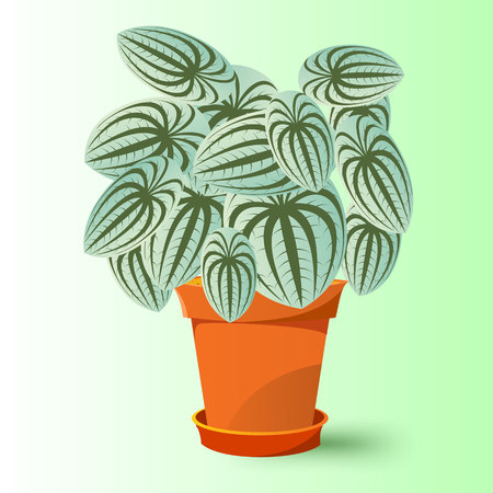 fleshy: vector illustration of peperomia marmorata plant in a pot Illustration