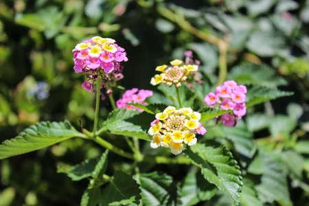 lantana: Beautiful inflorescence  Lantana camara Stock Photo