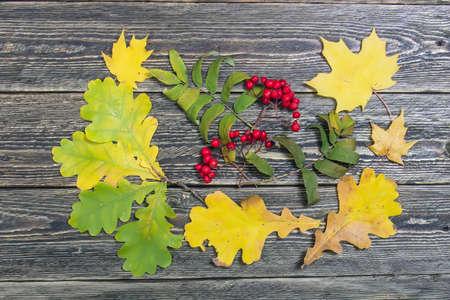 aspen tree: Oak leaves and rowan berries on a wooden background Stock Photo