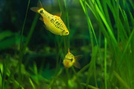 barbus: Barbus semifasciolatus (Barbus Shuberti) - aquarium fish