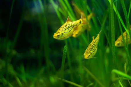 barbus: Puntius Shuberti (Golden Barbus) - aquarium fish