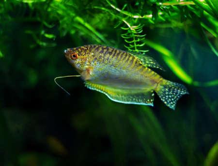 Aquarium Fish Golden gourami - Trichogaster trichopterus Gold Stock Photo