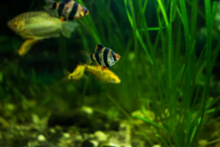 tetrazona: Tiger barb or Sumatra barb fish