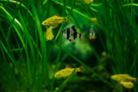 tetrazona: Tiger barb or Sumatra barb fish in the aquarium