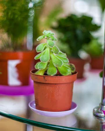 Echeveria pulvinata flower in the flowerpot. Fleshy leaves. Fluffy flower.