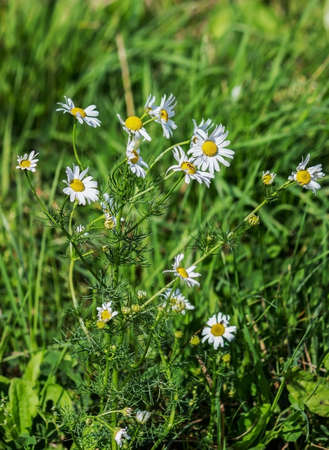 Matricaria chamomilla blossoms in a meadow. Beautiful white flowers in the wind.
