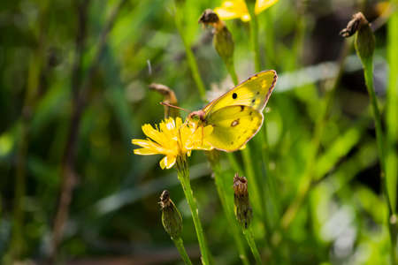 Yellow Butterfly Gonepteryx rhamni sits on a flower. Beautifully opened wings. Sunny day.