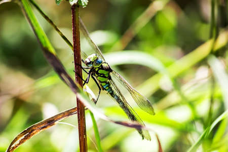 A dragonfly sits on the stem of a plant. He looks at the camera. Large faceted eyes. Stock Photo