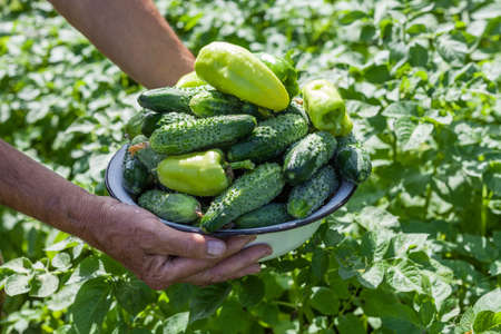 Harvesting on the farm. Cucumbers and sweet peppers. The farmer is holding a bowl of vegetables in his hands.