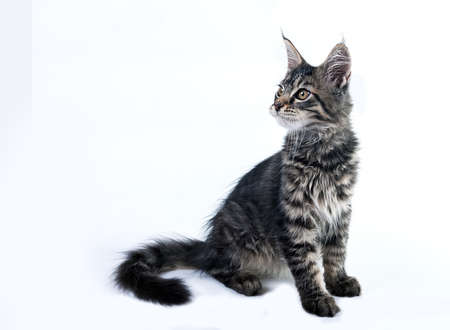 gray cat: Fluffy kitten Maine Coon on a white background. Brushes on the ears and Fluffy tail. A cute little kitten is sitting and looking up.