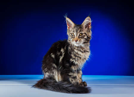 Cat Maine Coon With Long Beautiful Tassels On The Ears. The kitten sits and looks forward. Lovely fluffy kitten with big eyes.