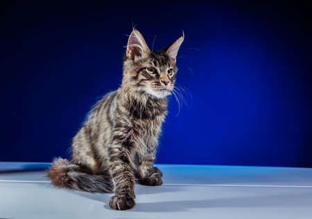 Cat Maine Coon With Long Beautiful Tassels On The Ears.  Lovely fluffy kitten with big eyes.