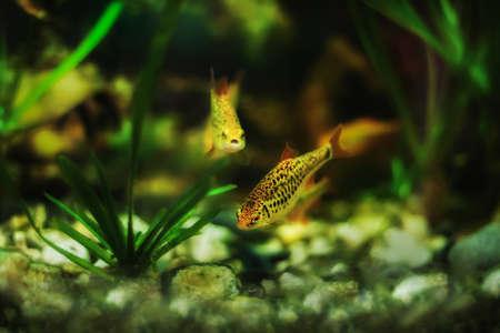 Puntius semifasciolatus (Barbus semifasciolatus ) - aquarium fish Stock Photo