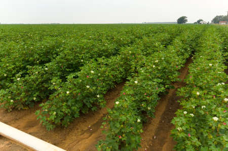 Bright green cotton field on a cloudy day. The cotton plants are at flower in a irrigated field