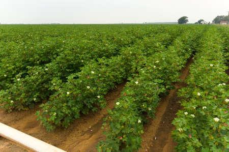 planta de algodon: Campo de algod�n de color verde brillante en un d�a nublado.  Las plantas de algod�n est�n en flor en un campo de regad�o Foto de archivo