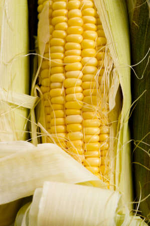 consumable: Fresh yellow corn on the cob in the husk