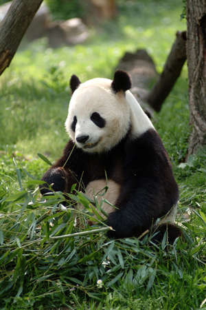 giant panda: a Giant panda in a field with a tree and grass