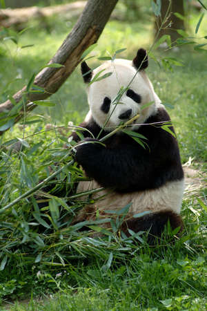 plants species: Giant pandas in a field with a tree and grass