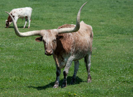 longhorn cattle: A longhorn bull in a pasture, grazing, standing Stock Photo