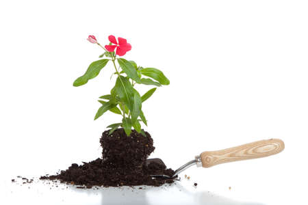 glower: A glower in soil on a spade on a white background