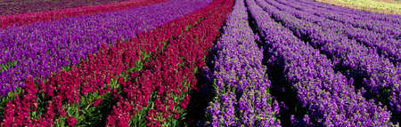 common snapdragon: Rows of colorful Snapdragon flowers