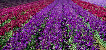 common snapdragon: Rows of purple and red snap dragons in a field