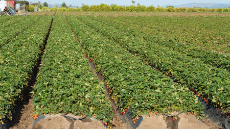 cropland: Rows of strawberry plants in a field Stock Photo