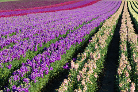 common snapdragon: Rows of purple; red; pink and yellow snap dragons blooming in a field Stock Photo
