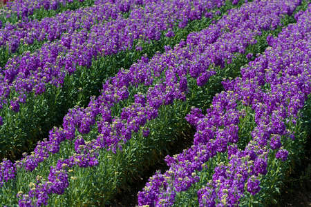 common snapdragon: Rows of purple snap dragons blooming in a field Stock Photo