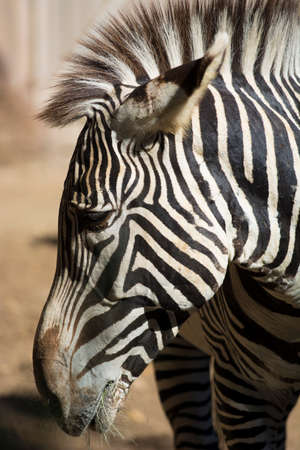 animal hair: A close-up of a zebra head with eyes and mane