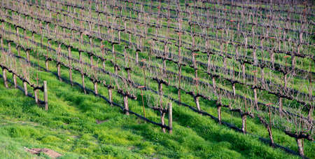 clearly: A vineyard with no leafs in California to show the vine and the branches clearly