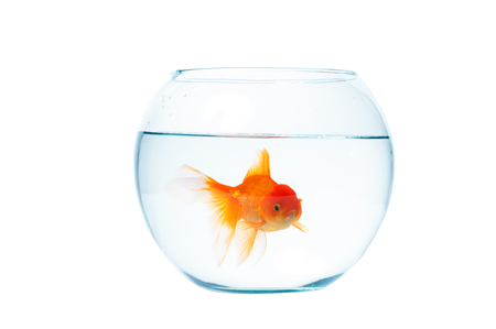 Gold fish with fishbowl isolation on the white background Stock Photo