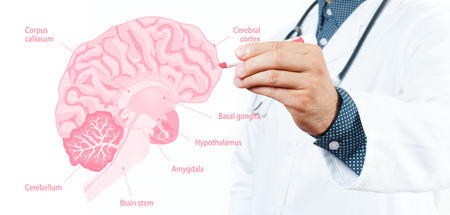 Medicine Concept. Doctor and Anatomy of human brain for basic medical education