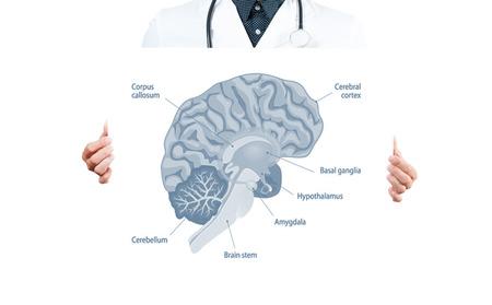 Human Braint. Arts en anatomie van de menselijke hersenen voor basis medisch onderwijs Stockfoto