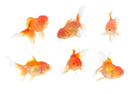 Many gold fish on the white background