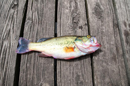 Fish bass caught on wooden background