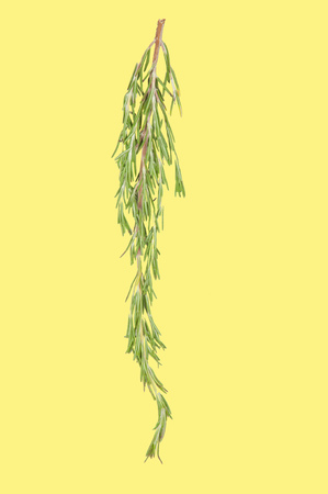 Fresh bunch rosemary on yellow pastel background
