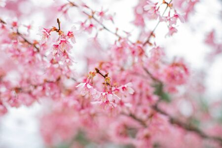 Beginning of spring. Branches of blooming cherry tree with pink flowers swaying in wind