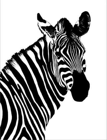 Zebra isolated on white photo