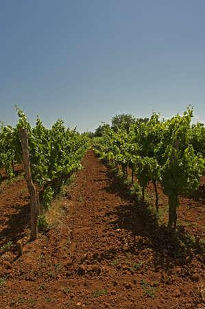 Wineyard on the Istria, Croatia